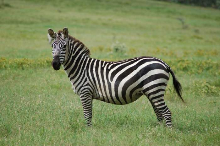 Tragedie la o grădină zoologică! O zebră s-a înecat în heleşteu!