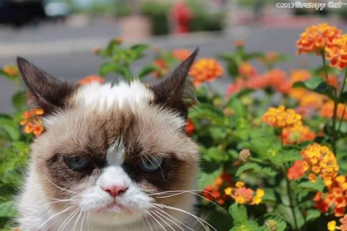 Vă place Grumpy Cat? Pisica-senzaţie de pe Internet a primit, în sfârşit, ceea ce merită / Video