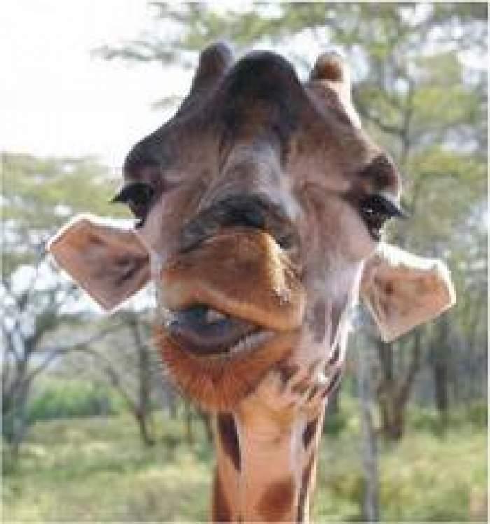 Au dat nas în nas cu girafa, iar ce a urmat e foarte tare! / Video