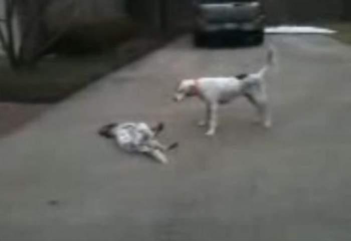 Atenţie, râzi cu lacrimi! Un câine îşi mimează moartea! / VIDEO