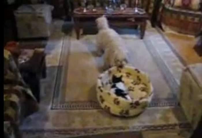 Râzi cu lacrimi! Un căţel se luptă să-şi recupereze patul ocupat de o pisică / VIDEO