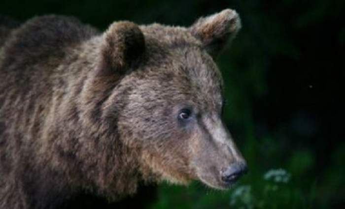 Doi bărbaţi din Harghita au ajuns la de urgenţă la spital, după ce au fost atacaţi de urs