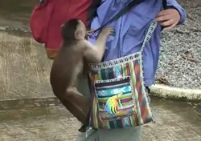 VIDEO /  Nu ţi-ai dori să ajungi pe mâna lor! Pe cât de drăguţe sunt când vor, pe atât de răutăcioase pot deveni! Cel mai amuzant clip cu maimuţe