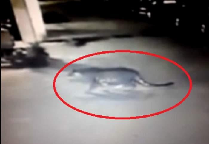 VIDEO / Un tigru, SURPRINS plimbându-se, într-o zonă frecventată de turişti