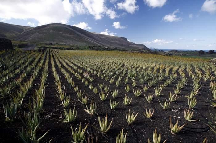 Beneficiile nebănuite ale plantei de Aloe Vera