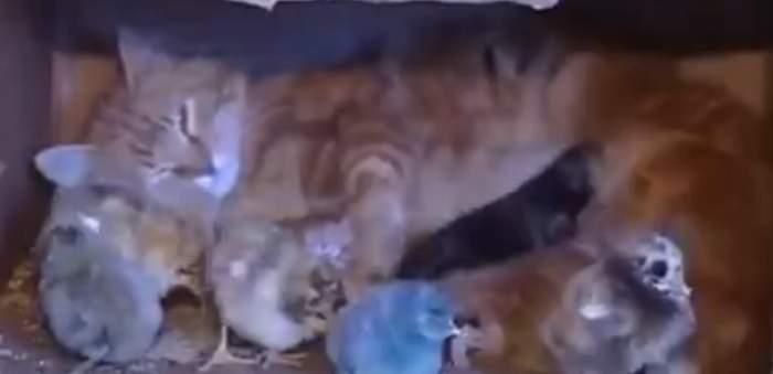 VIDEO/ Adorabil! O pisică a adoptat nişte pui de găină pe care îi iubeşte la nebunie