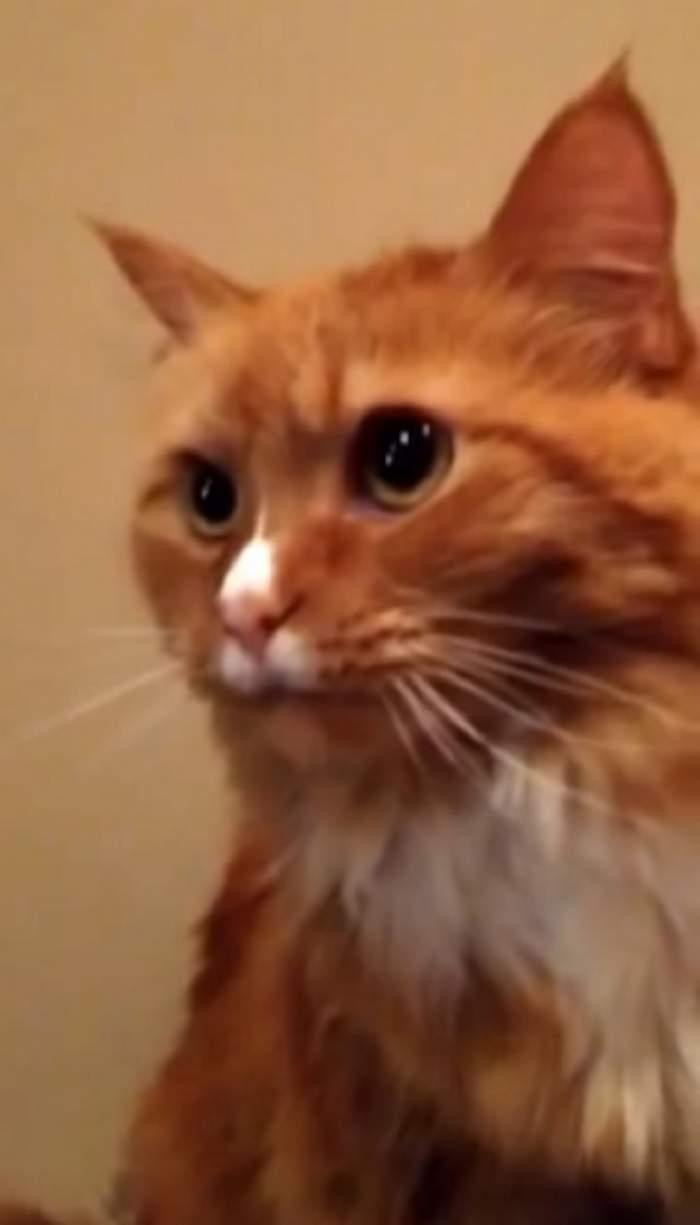 VIDEO / Reacţia incredibilă a acestei pisici în momentul în care aude cum se dezlipeşte banda adezivă