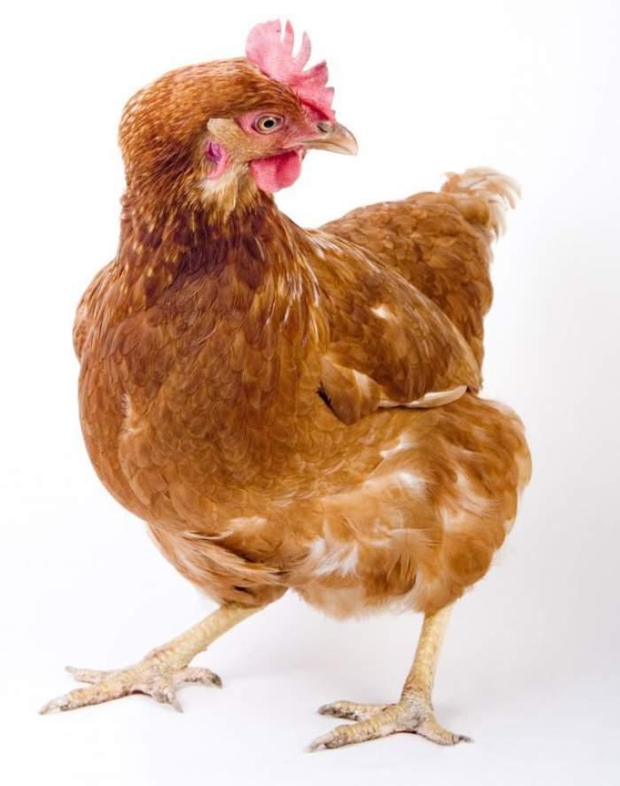 ÎNTREBAREA ZILEI- JOI: Găinile strănută? Înainte de a răspunde trebuie să vezi acest VIDEO