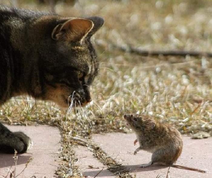 ÎNTREBAREA ZILEI - SÂMBĂTĂ: Ce animal prindea şoarecii înainte de domesticirea pisicii?