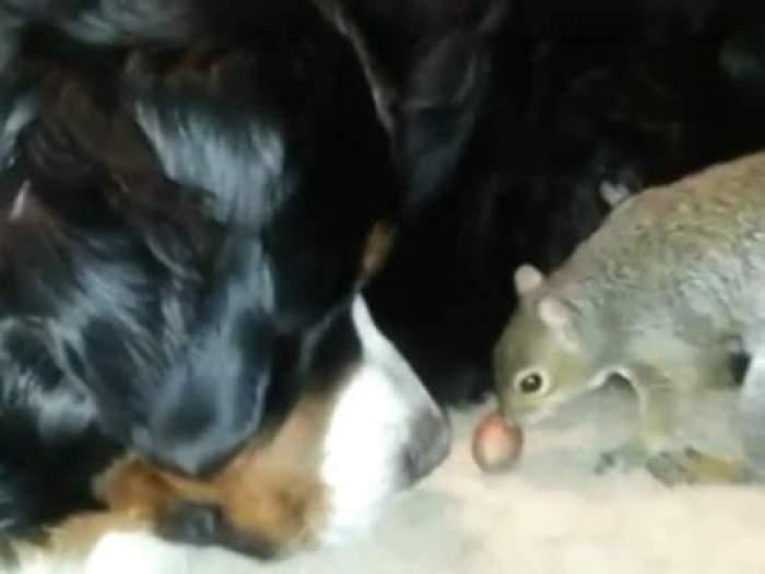 VIDEO Ceva mai haios nu ai văzut! Cum îşi ascunde o veveriţă mâncarea