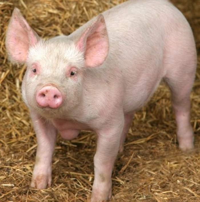 VIDEO haios! Cum reacţionează un porc când vede o cameră de filmat care cade dintr-un avion