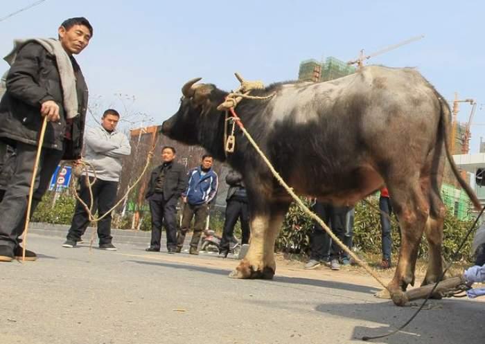 Chinezii au reinventat... căruţa! E incredibil ce au putut face cu o vacă şi un BMW