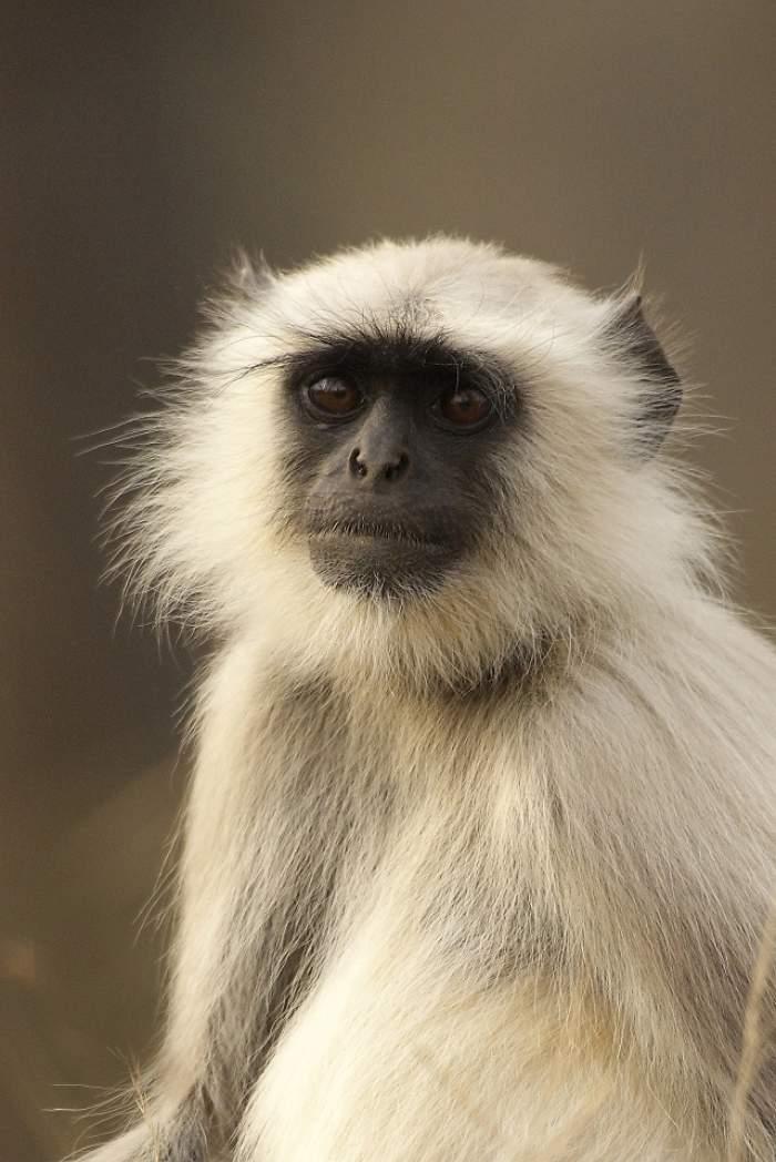 Guvernul indian angajează tineri care să ştie să imite maimuţe! Motivul e dincolo de orice imaginaţie