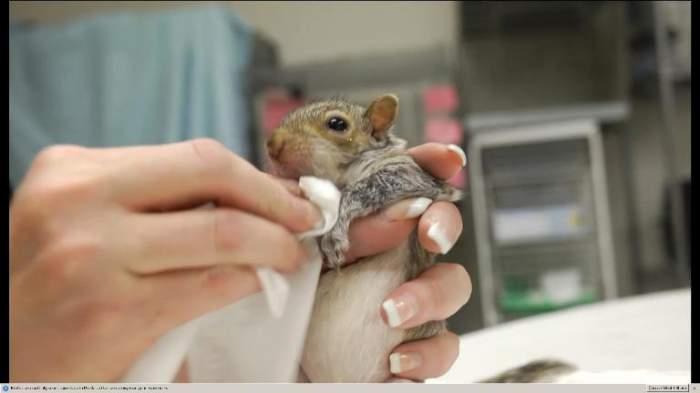 VIDEO ADORABIL /  Pui de veveriţă hrănit ca un bebeluş!