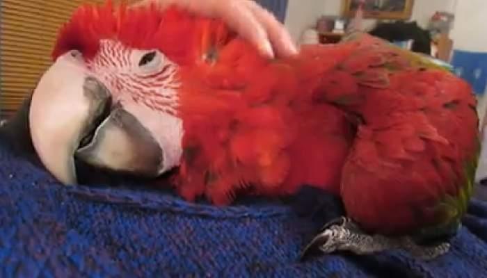 VIDEO / E atât de dulce, că te înduioşează! Ce face acest papagal când stăpâna îl mângâie