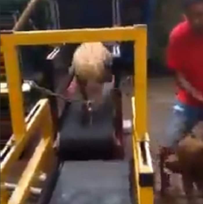 VIDEO / Antreneaza mașini de ucis! Ce face un stăpân cu pitbulii lui e incredibil!