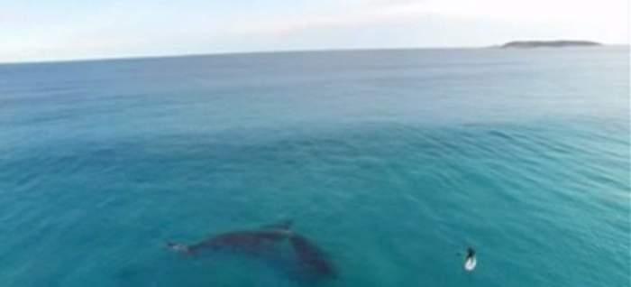 Imaginile pe care trebuie neapărat să le vezi! Iată surferul care se plimbă cu balenele!