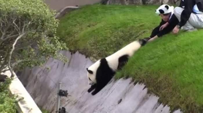 VIDEO / Aventurile unui ursuleț panda. A încercat să evadeze, dar a fost adus imediat înapoi