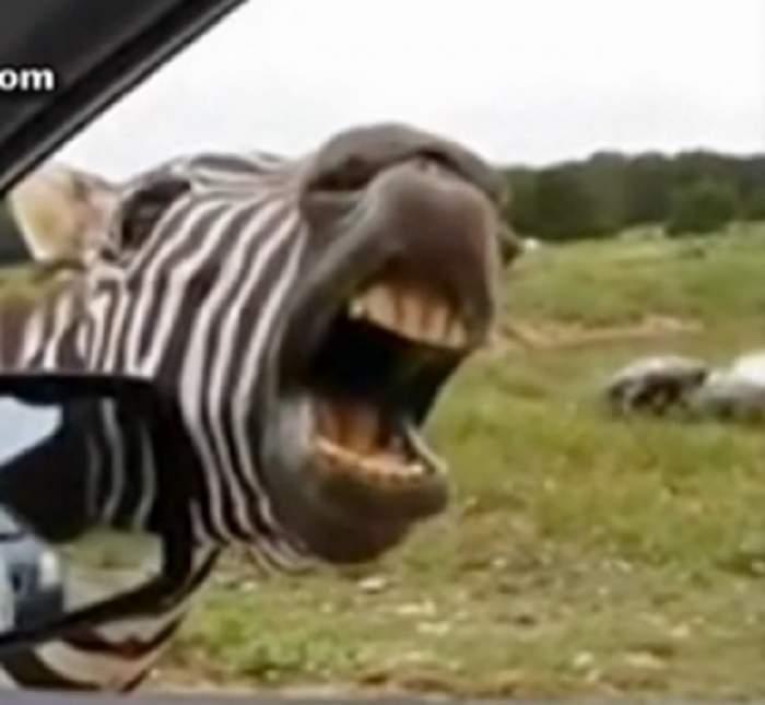 Râzi cu lacrimi! Zebra cântăreaţă, show ca în desene animate!