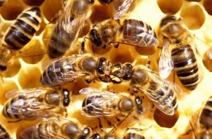 ÎNTREBAREA ZILEI - VINERI: Ce este mai dureros: să fii înţepat de o albină în nas sau în penis?
