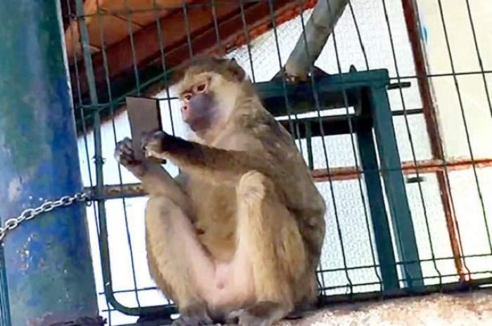 VIDEO / O maimuță din România face senzație pe Facebook. A furat un telefon mobil, iar restul este ISTORIE