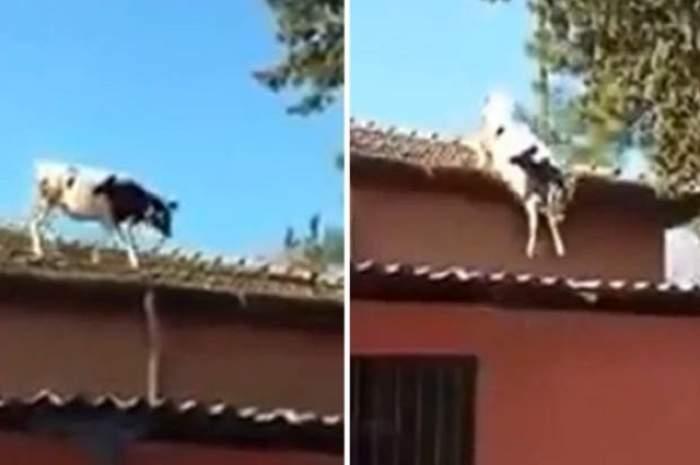 VIDEO / Aventurile unei văcuțe. S-a urcat pe un acoperiș și a șocat pe toată lumea. Ce a pățit