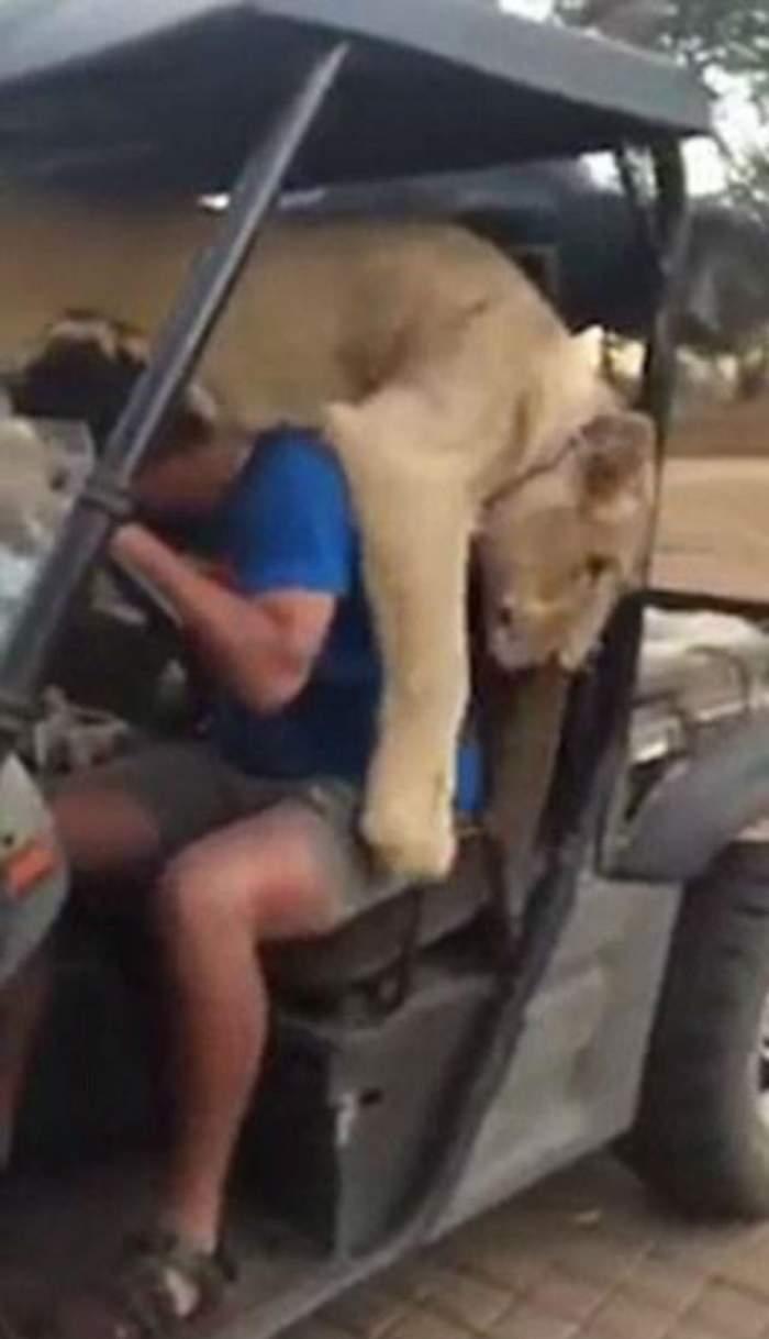 VIDEO / Îţi îngheaţă inima. Acest leu a sărit pe îngrijitorul safari-ului, iar ce a urmat este incredibil