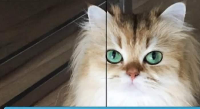 VIDEO / Pisica mai populară decât multe vedete de la Hollywood! Te cucereşte din prima secundă cu frumuseţea ei