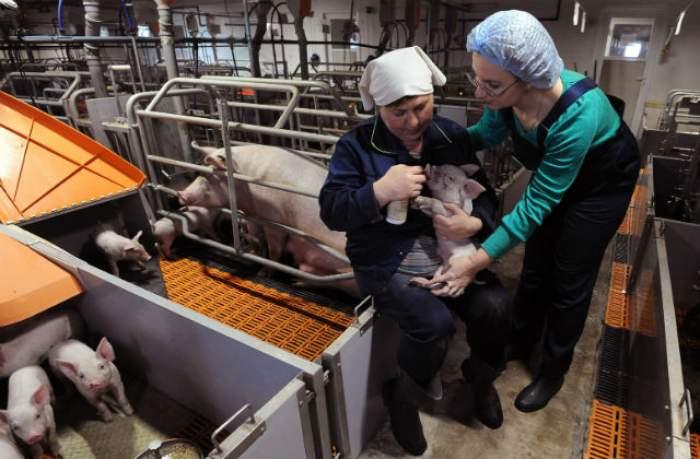 ÎNTREBAREA ZILEI – DUMINICĂ: De ce sângele de porc e considerat un aliment hrănitor?