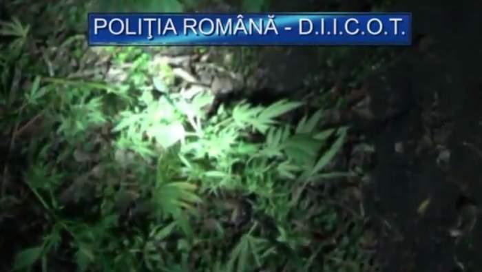 VIDEO / Au devenit infractori şi au fost încătuşaţi de colegii lor! Imagini cu recolta de cannabis a celor doi poliţişti din Arad