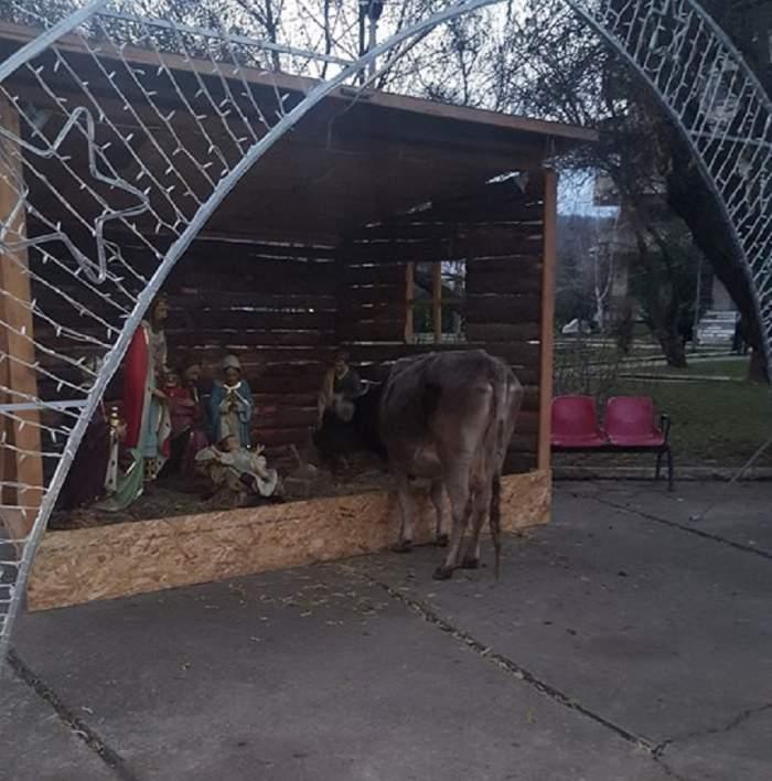 FOTO / O vacă locală din Moreni o mâncat scena cu nașterea Domnului