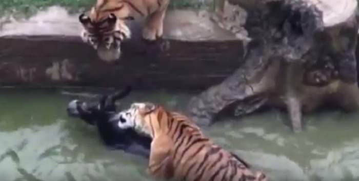 VIDEO / Scene MACABRE la grădina zoologică în fața copiilor! Un măgar a fost mâncat de viu de tigrii