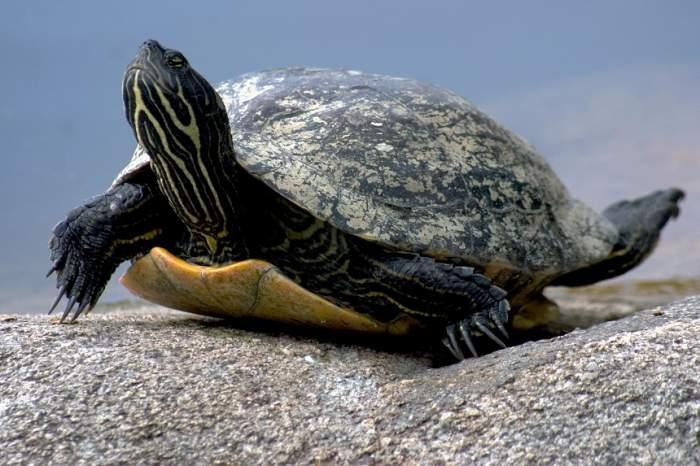 FOTO / Incredibil! De ce oamenii de știință folosesc jucăriile sexuale pe broaștele țestoase