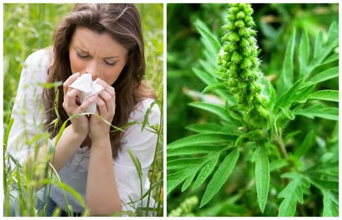 Strănuți frecvent, ai mâncărimi la nivelul nasului și al ochiilor? August, luna problemelor cauzate de cea mai alergenică plantă din România!