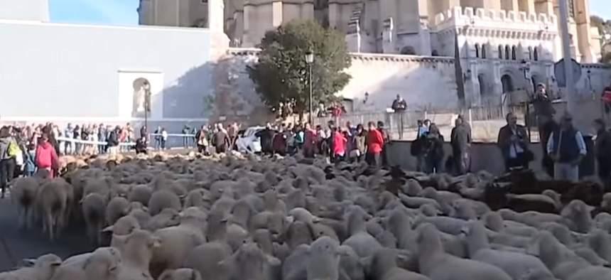 FOTO / Maşinile din centrul Madridului au fost înlocuite cu sute de oi!
