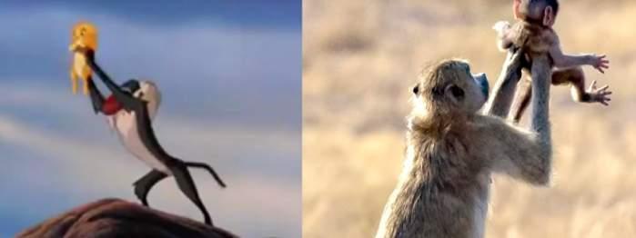 """VIDEO / Viaţa bate filmul! O maimuţă îşi ţine puiul în braţe la fel ca în """"Lion King"""""""
