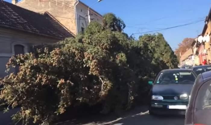 VIDEO / Dorel de Lugoj. Un brad uriaș de Crăciun a fost târât printre mașini și cabluri de curent