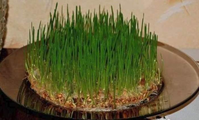 Sfântul Andrei 2018. Ce înseamnă grâul pus la încolţit şi cât de mult îţi ajută acest lucru familia