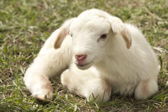De ce se taie mielul de Paşte? Noi am aflat legenda