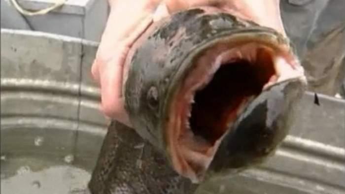 Atenţie! Specie periculoasă de peşte care traieşte pe uscat, găsită într-un iaz