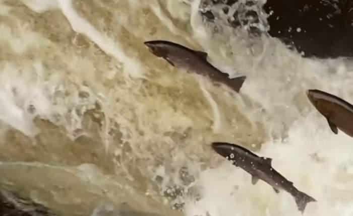 """Peste 30.000 de somoni au """"evadat"""" dintr-o fermă piscicolă din America de Sud! Cum a fost posibil"""