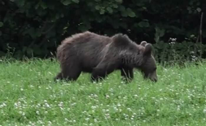 Ursul atacă din ce în ce mai des într-o zonă din Brașov! Copilă de 4 ani, rănită, în timp ce se plimba cu mama ei