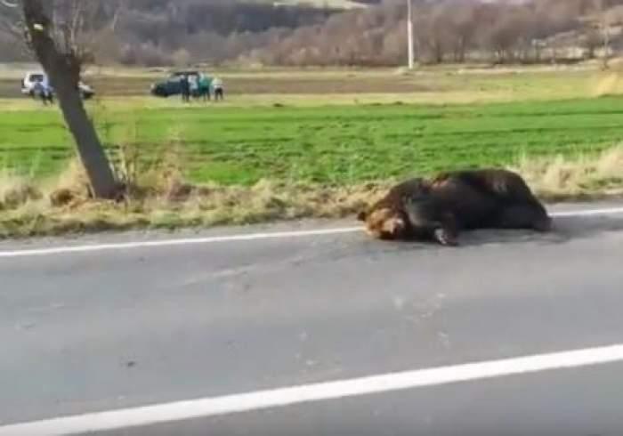 Ursul lovit de maşină a fost omorât. Prefectul de Harghita, demis!