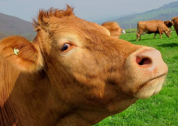 Asta le întrece pe toate! Un mexican a fost prins în timp ce făcea amor cu o vacă