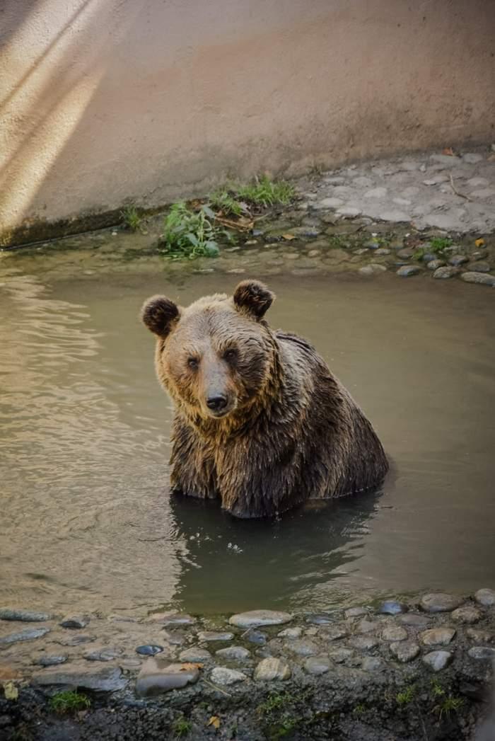 S-a întâlnit cu ursul şi a plonjat în râpă! Incidentul a avut loc pe Transfăgărăşan