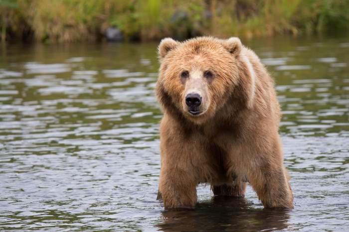 S-a răsturnat cu maşina din cauza unui urs. Cum a fost posibil
