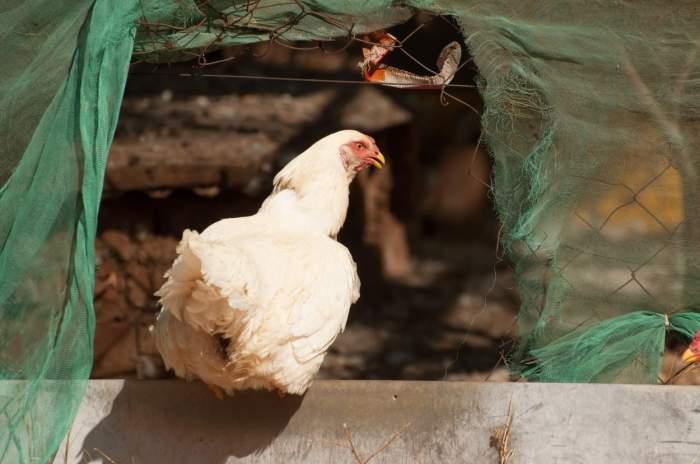 O româncă a petrecut Anul Nou în cotețul găinilor, după ce iubitul a închis-o acolo din gelozie