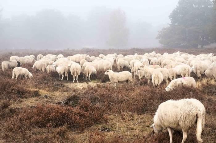 VIDEO / Ca la noi, la nimeni! Zeci de oi mânate prin ceaţă, pe Autostrada Soarelui. Bărbatul a avut o replică halucinantă