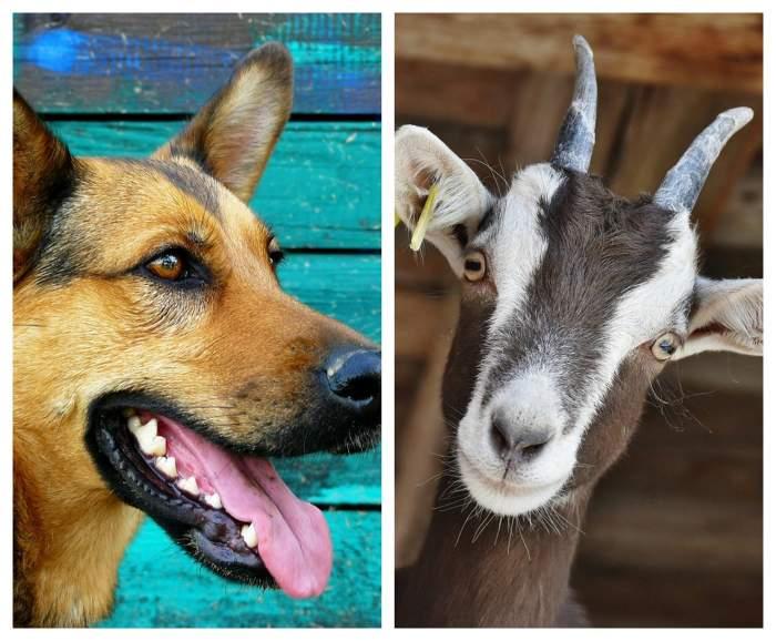 Cu cine ai vota? Un câine şi o capră candidează pentru titlul de primar, în SUA