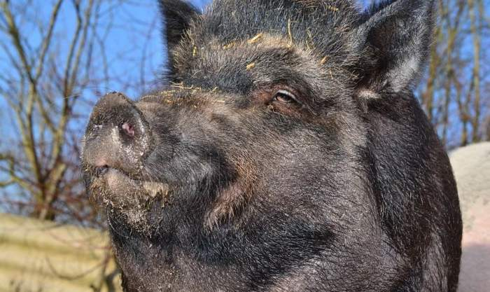 Pesta porcină face ravagii în Sălaj! Au murit peste 60 de mistreţi